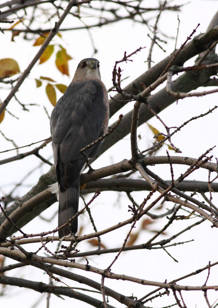One of a couple Coopers Hawks that have been in my neighborhood lately.