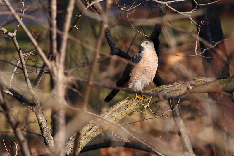A Cooper's Hawk, taken in Orland Park