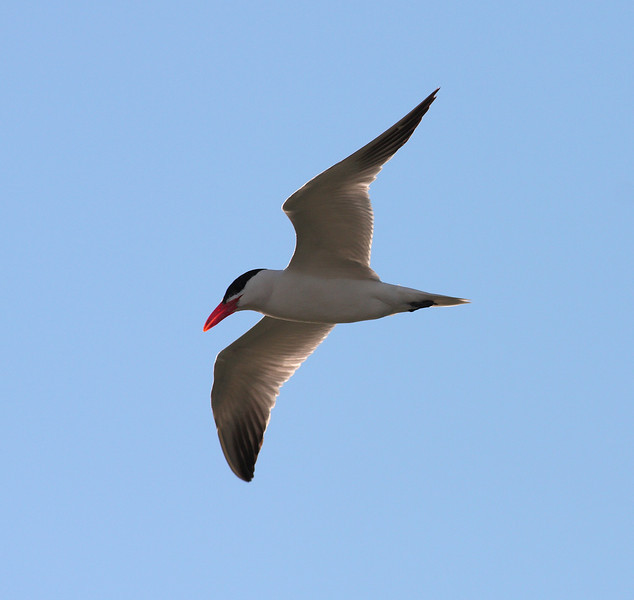 A Caspian Tern, captured over Lake Michigan's Chicago shore.