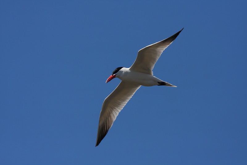 A Caspian Tern, at McGinnis Slough in Orland Park.
