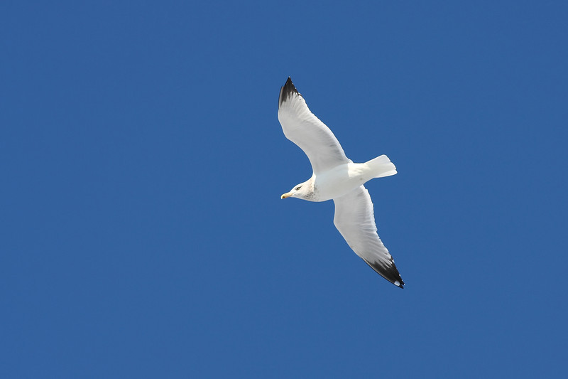 A Herring Gull, taken over Lake Katherine