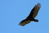 The ever-beautiful Turkey Vulture...