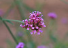 A solitary stem, with tiny lavender flowers...