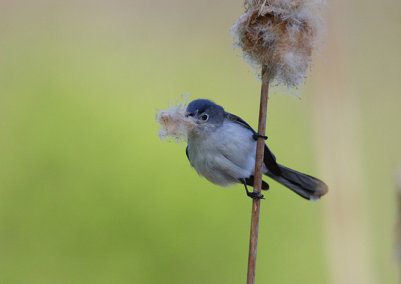 Blue Gray Gnatcatcher, taken in the Illinois Forest Preserves.