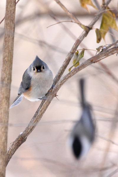 A Tufted Titmouse, found in the Cook County Forest Preserves.