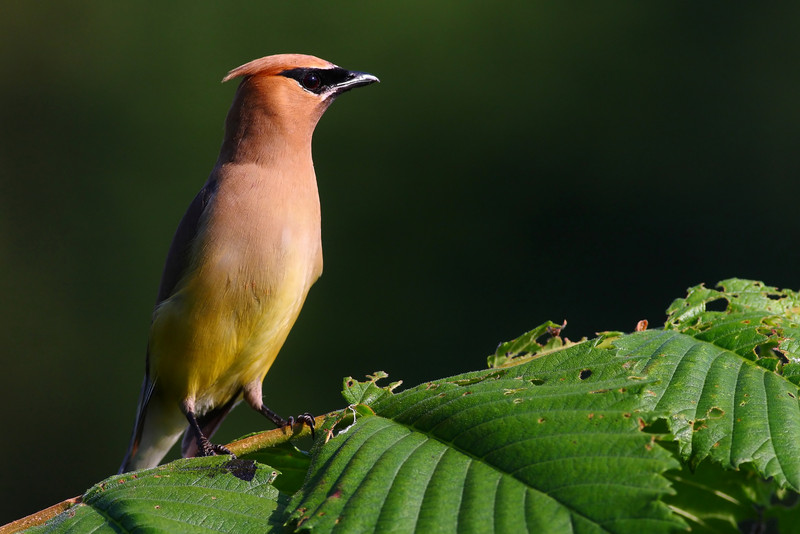One of Lake Katherine's Cedar Waxwings.