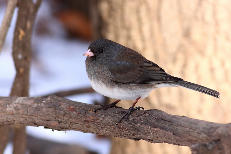 Dark eyed junco, found in the cook county forest preserves, and nearly every feeder in the area!