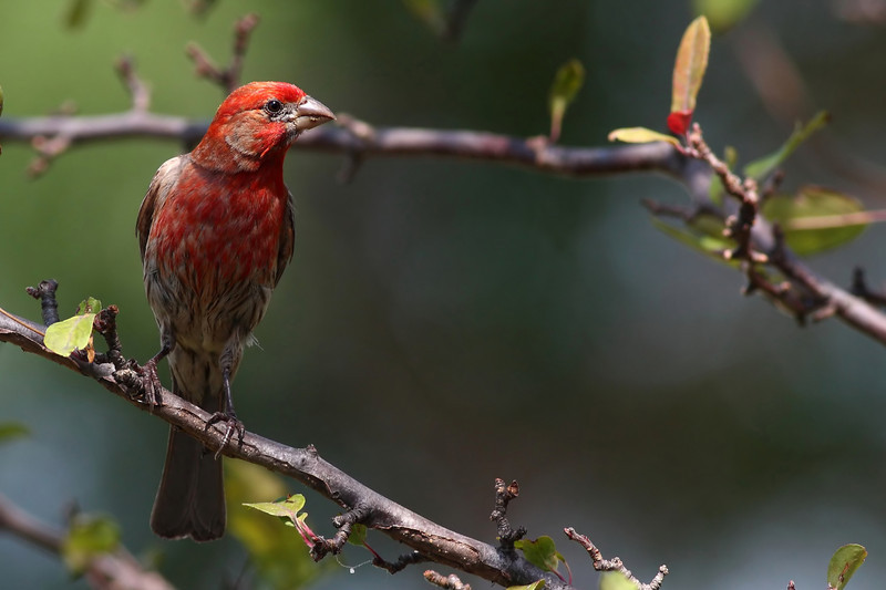 A Common House Finch, taken in my front yard.