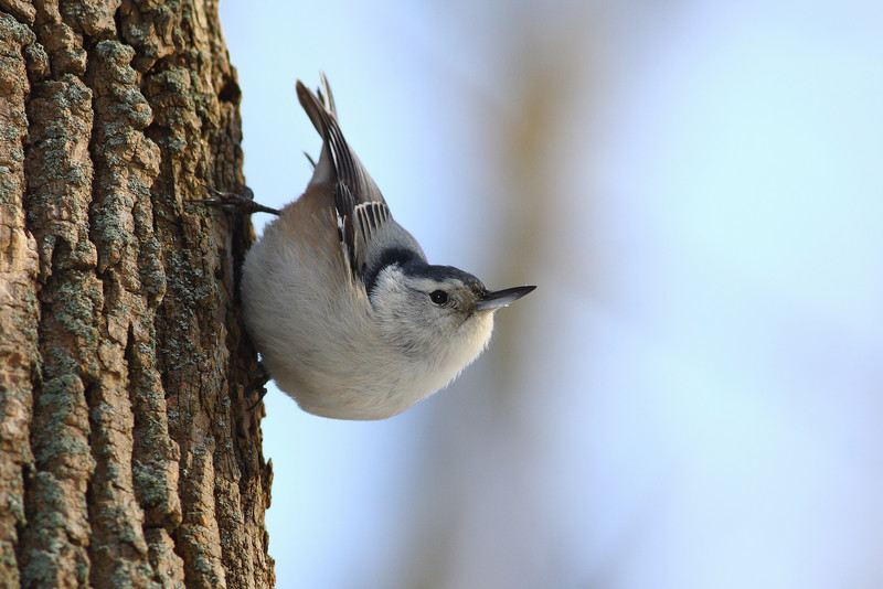 A White Breasted Nuthatch, taken in the Cook County Forsest Preserves in winter.