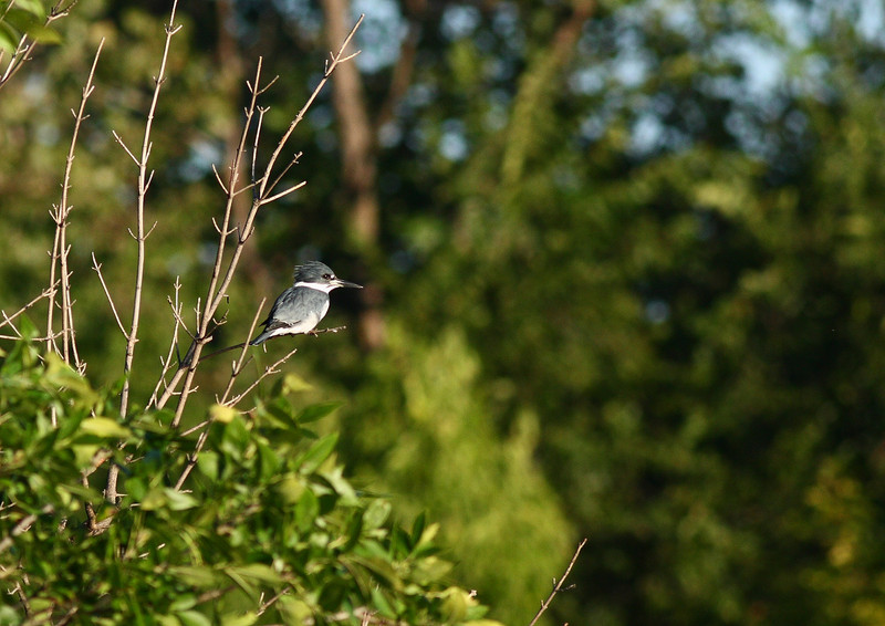 A Belted Kingfisher, taken at Lake Katherine in Palos Heights