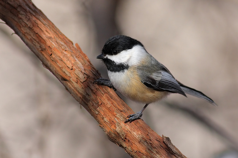 Probably my favorite chickadee shot so far!