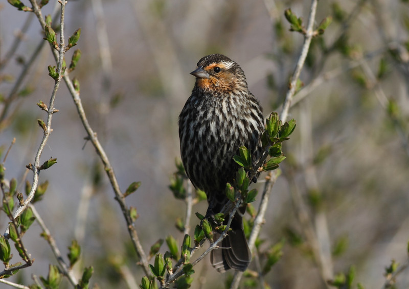 A Female Red-Winged Blackbird, taken at Montrose in Chicago.  This is my favorite photo in this category.
