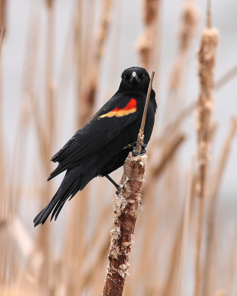 A Red-Winged Blackbird on a cloudy day.