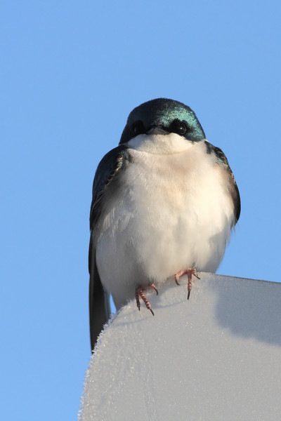 A Tree Swallow, stopping for a rare break, on top of a frosty road sign.