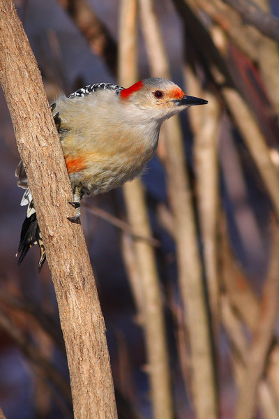 A red-bellied woodpecker found in the forest preserves.