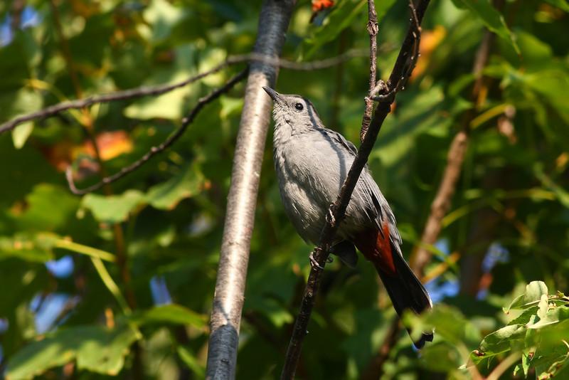 Grey Catbird, taken at McGinnis in Orland Park Illinois.
