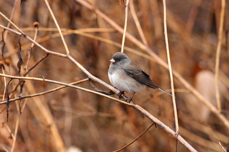 A Junco taken at the Jarvis center in Chicago