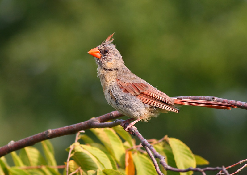 A Female Northern Cardinal, taken at Montrose in Chicago