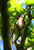 A Cedar Waxwing, shotfeet outside of my office door!