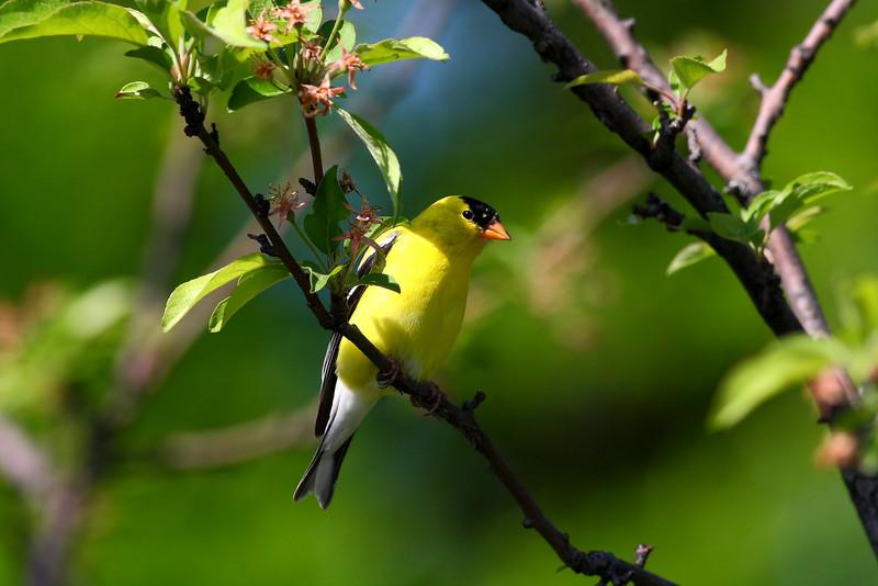 Common Finch in a pretty setting.