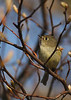 A Ruby Crowned Kinglet, taken at Montrose in Chicago