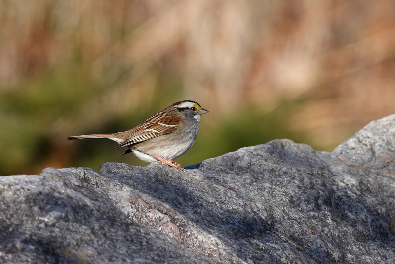 A White Throated Sparrow, taken near Lake Katherine.
