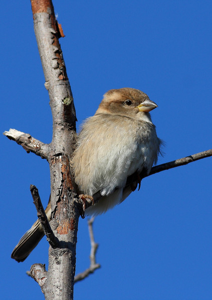 A Sparrow, taken at Lake Katherine in the colder months.