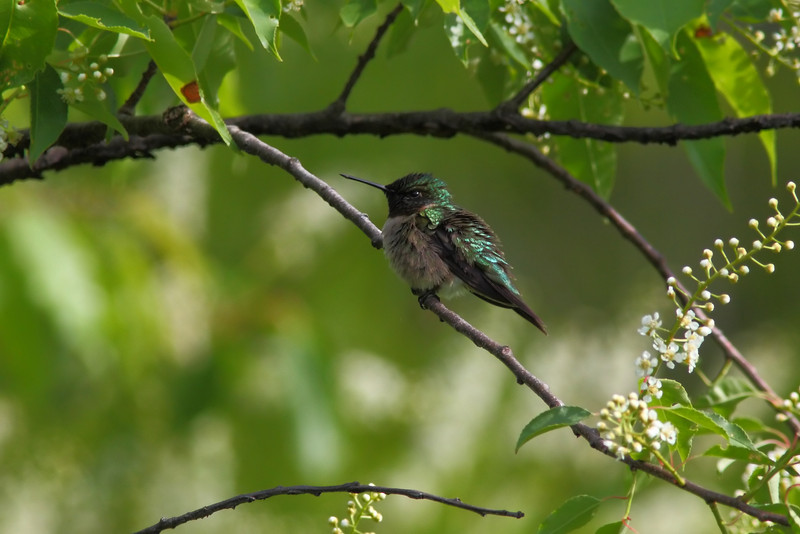 My first Hummingbird!
