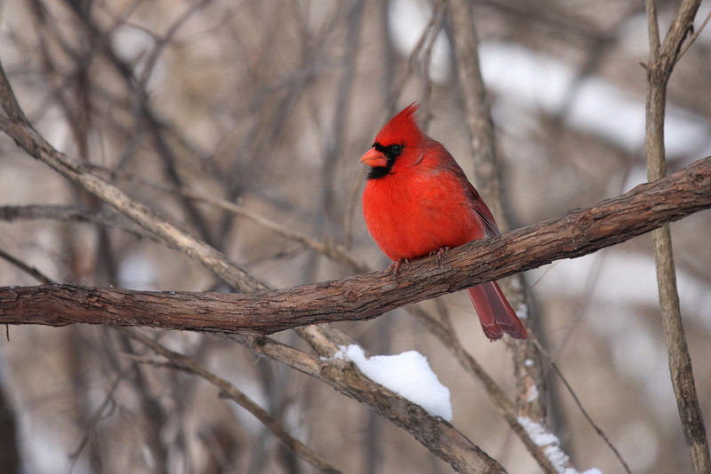 Northern Cardinal, taken in the Cook County Forest Preserves in winter.