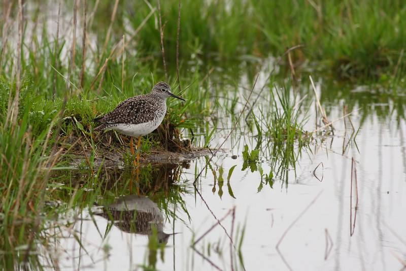 A Lesser Yellowlegs, taken at the new Bartel Grasslands in southern Cook County.