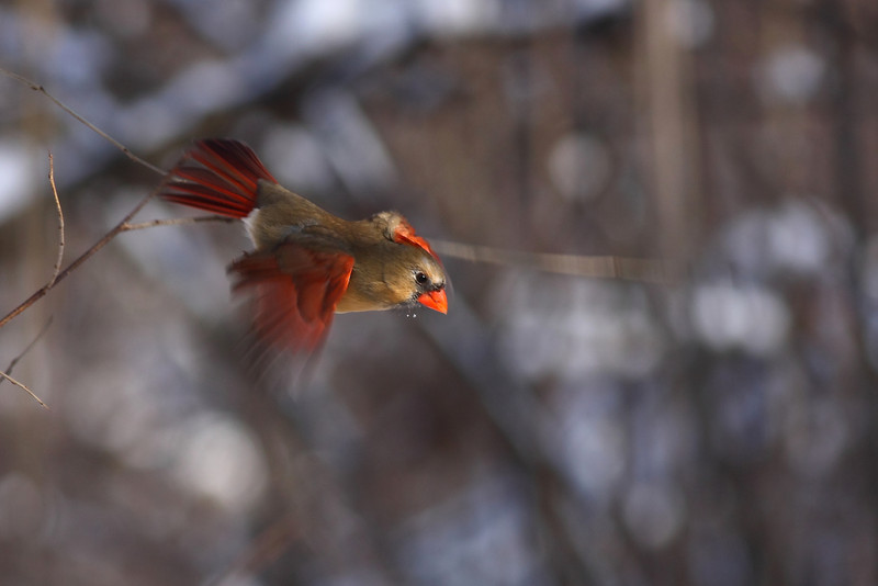 A female Cardinal, on her way down from the trees!