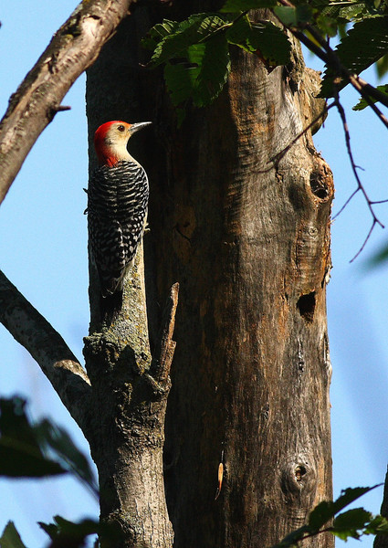 Red Bellied Woodpecker, taken in the Illinois Forest Preserves