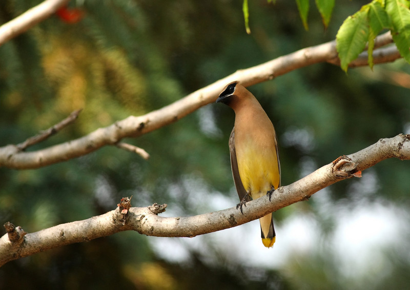 Cedar Waxwing, taken at Lake Katherine in Palos Heights