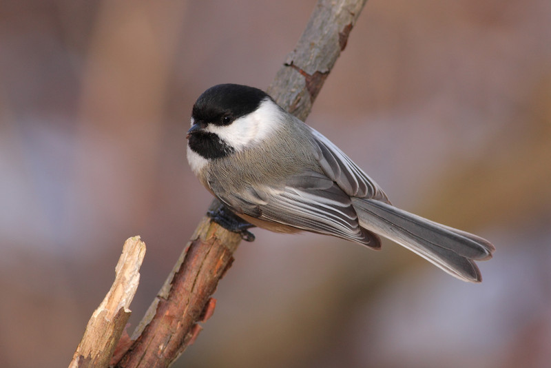 Another Black Capped Chickadee from the CC Forest Preserves