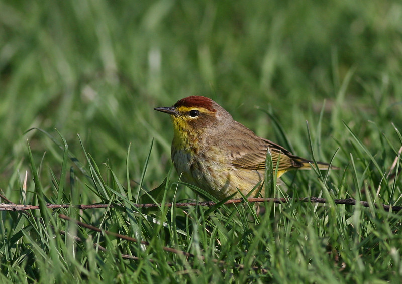 Awaiting a positive ID, taken in the Illinois Forest Preserves. Palm Warbler is my guess.