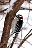 A Male Downy Woodpecker, taken in the winter of 08.