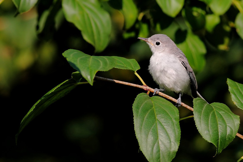 A Warbling Vireo, I believe.