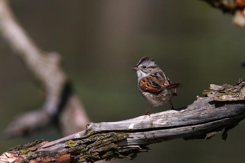 A Swamp Sparrow, taken at Morton Arboretum in 2010.