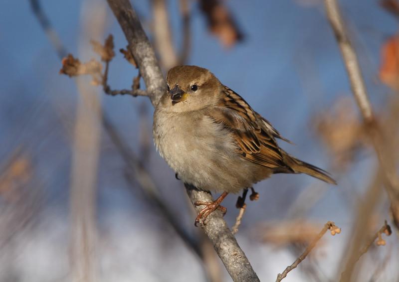 Savannah Sparrow (I think), taken at Lake Katherine in the colder months.