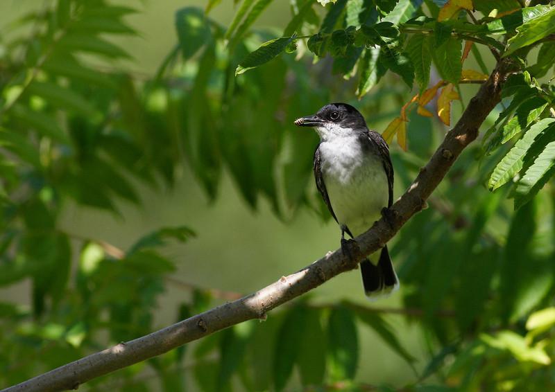 Eastern Kingbird, taken at Lake Katherine
