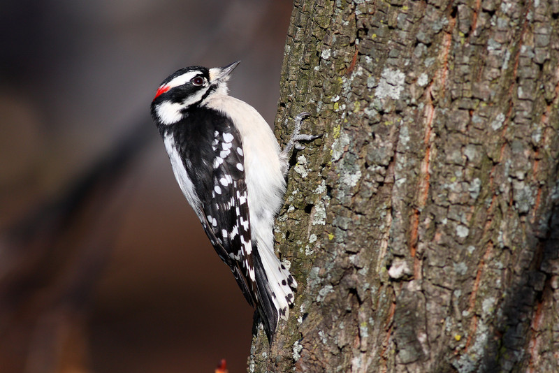 A Downy Woodpecker, taken at Lake Katherine.