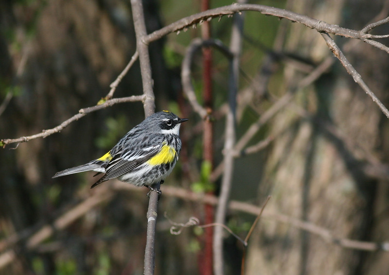 Yellow rumped warbler, taken in the Illinois Forest Preserves.