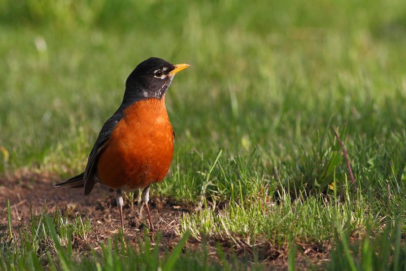 Mommy Robin, shot in my back yard.