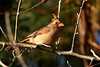 A Female Cardinal, in the setting sunlight.