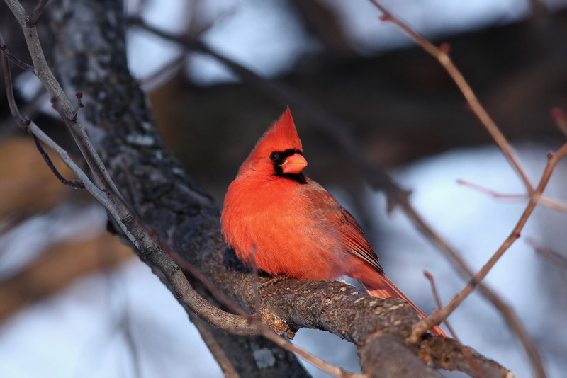 A Northern Cardinal, shot at sunrise in Chicago.