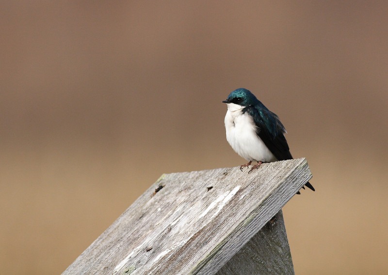 A Tree Swallow on a nature preserve birdhouse.