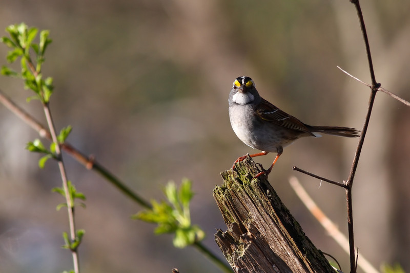 A White Throated Sparrow, taken at Lake Katherine in Palos.