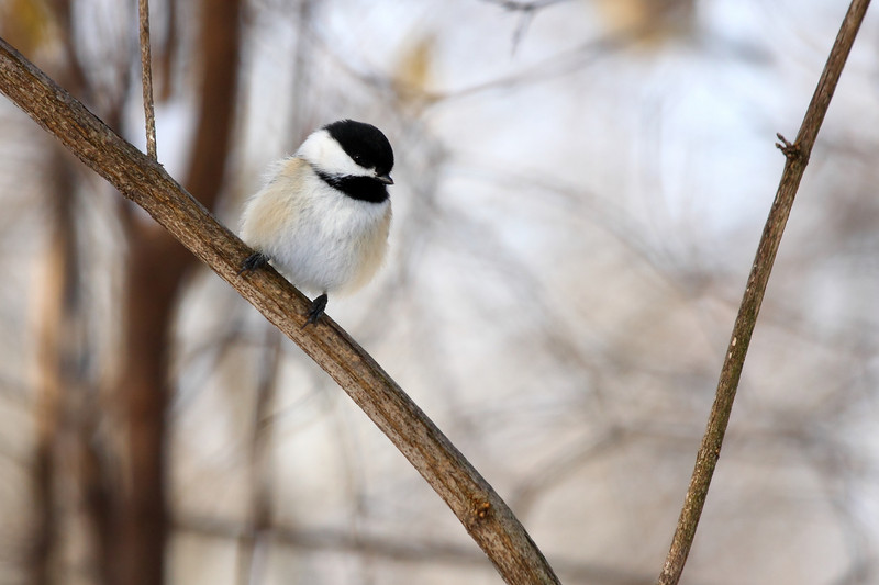 Another Black Capped Chickadee, found in CC forest preserves.