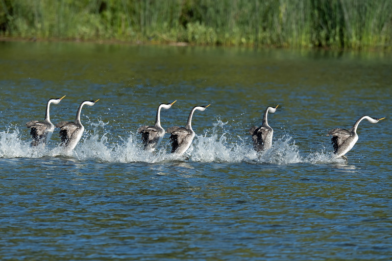 """... and then run on the surface turning their heads along the way.  This is a 3-shot composite of a mated pair """"dancing"""".  The whole sequence lasts just a few seconds, but it's magnificent."""