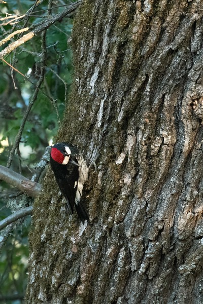 We left the wood ducks and stopped at Clear Lake State Park.  It was approaching sunset and the trees were covered with woodpeckers.